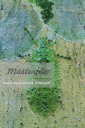 Lichen-mimicking katydid on tree trunk, Tettigoniidae family, Sabah, Borneo