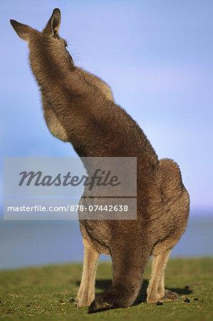 Eastern gray kangaroo grooming, Macropus giganteus, Murramarang National Park, Australia