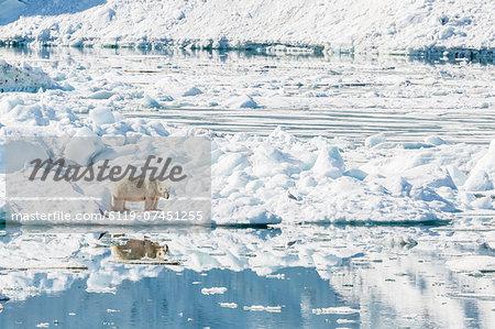 Adult polar bear (Ursus maritimus) on ice in Hornsund, Spitsbergen, Svalbard, Norway, Scandinavia, Europe