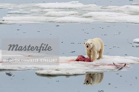 Adult polar bear (Ursus maritimus) on a seal kill in Olgastretet off Barentsoya, Svalbard, Norway, Scandinavia, Europe
