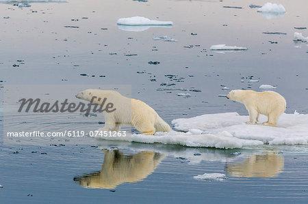 Mother polar bear with second year cub (Ursus maritimus) on ice in Olgastretet off Barentsoya, Svalbard, Norway, Scandinavia, Europe