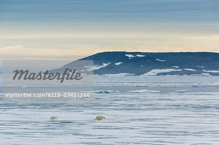 Mother polar bear (Ursus maritimus) with cup of year on ice in Hinlopen Strait, Svalbard, Norway, Scandinavia, Europe