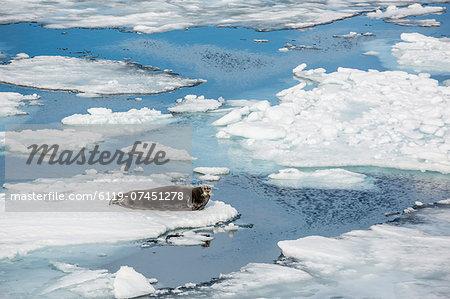 Adult bearded seal (Erignathus barbatus) on ice floe in Hinlopen Strait, Spitsbergen, Svalbard, Norway, Scandinavia, Europe