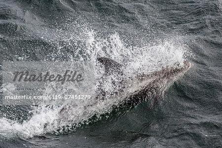Adult white-beaked dolphin (Lagenorhynchus albirostris) off the west coast of Spitsbergen, Svalbard, Norway, Scandinavia, Europe