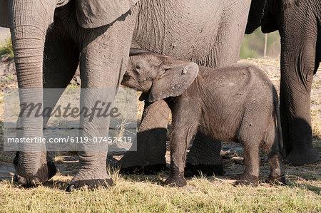 Elephant (Loxodonta africana) calf, Chobe National Park, Botswana, Africa