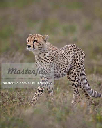 Cheetah (Acinonyx jubatus) cub, Serengeti National Park, Tanzania, East Africa, Africa