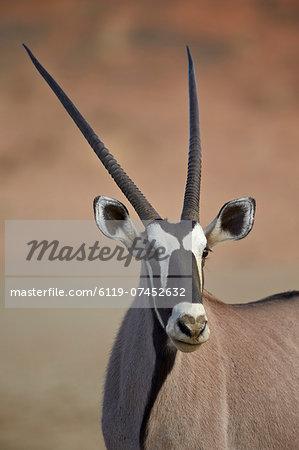 Gemsbok (South African oryx) (Oryx gazella), Kgalagadi Transfrontier Park, encompassing the former Kalahari Gemsbok National Park, South Africa, Africa