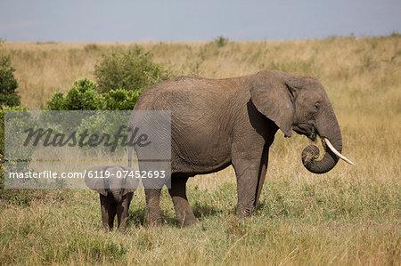 African elephant (Loxodonta africana), Masai Mara National Reserve, Kenya, East Africa, Africa