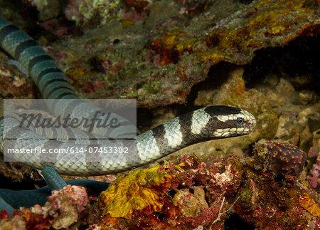 Staring Sea snake.