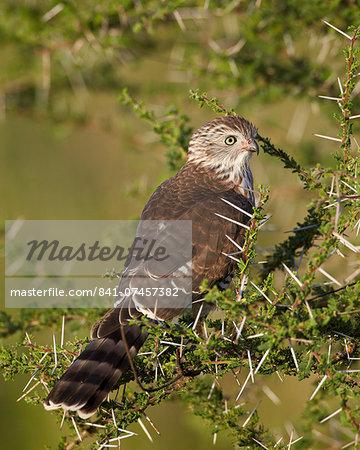 Immature Gabar goshawk (Micronisus gabar), Serengeti National Park, Tanzania, East Africa, Africa