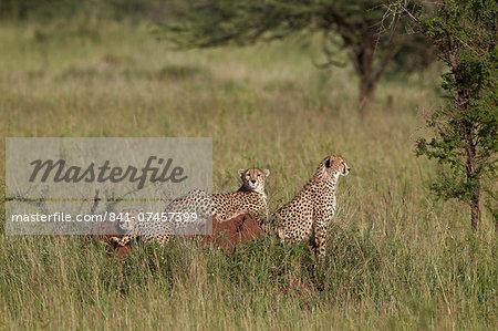 Three cheetah (Acinonyx jubatus), Serengeti National Park, Tanzania, East Africa, Africa