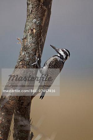 Female bearded woodpecker (Dendropicos namaquus), Serengeti National Park, Tanzania, East Africa, Africa