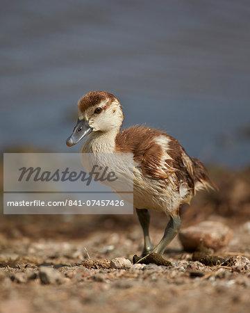 Egyptian goose (Alopochen aegyptiacus) gosling, Serengeti National Park, Tanzania, East Africa, Africa