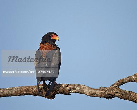Bateleur (Terathopius ecaudatus), Serengeti National Park, Tanzania, East Africa, Africa
