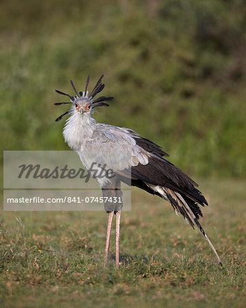 Secretarybird (Sagittarius serpentarius), Serengeti National Park, Tanzania, East Africa, Africa