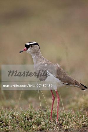 Crowned plover (crowned lapwing) (Vanellus coronatus), Serengeti National Park, Tanzania, East Africa, Africa