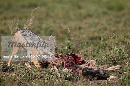 Black-backed jackal (silver-backed jackal) (Canis mesomelas) at a blue wildebeest calf kill, Serengeti National Park, Tanzania, East Africa, Africa