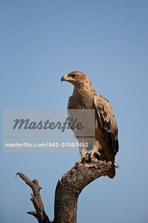 Tawny eagle (Aquila rapax), Serengeti National Park, Tanzania, East Africa, Africa