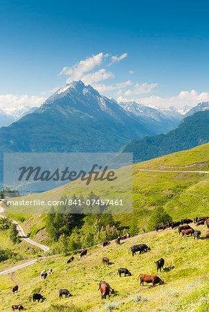 Herd of cows in the Aosta Valley, Vetan, Aosta Valley, Italian Alps, Italy, Europe