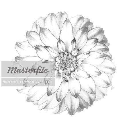 Graphic representation of dahlia in black & white.