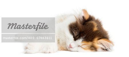 Higland straight kitten lying down, sleeping, isolated on white