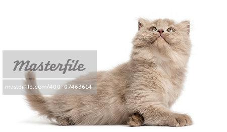 Highland fold kitten lying, looking up, isolated on white