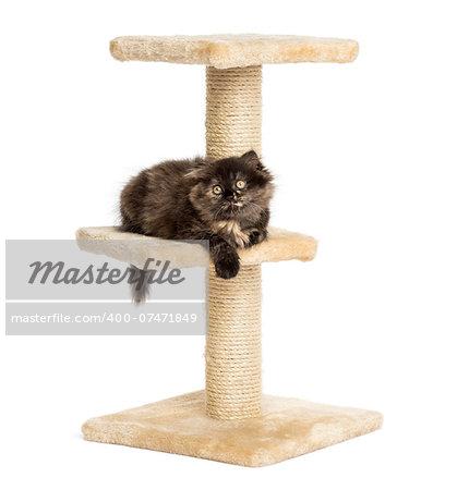 Highland fold kitten lying on a cat tree, isolated on white