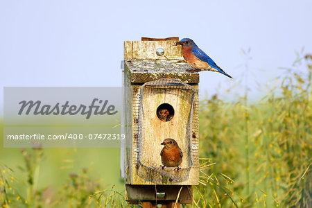Eastern Bluebirds feeding their babies on a bright spring day