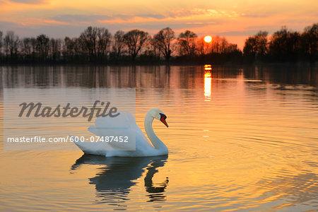 Mute Swan (Cygnus olor) on lake at sunset, Hesse, Germany, Europe