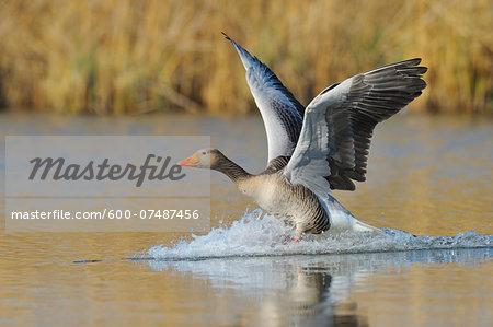 Greylag goose (Anser anser) landing on lake, Hesse, Germany, Europe