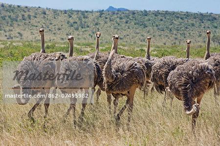 Kenya, Samburu National Reserve, Samburu County. A flock of sub-adult Somali ostriches.