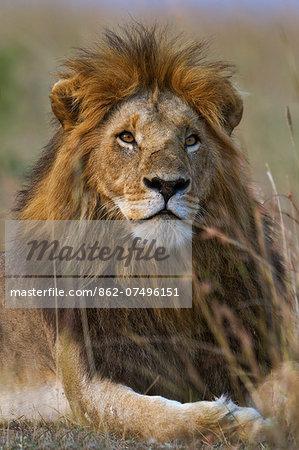 Kenya, Masai Mara, Narok County. A dark maned pride male sitting alert in long red oat grass early in the morning.