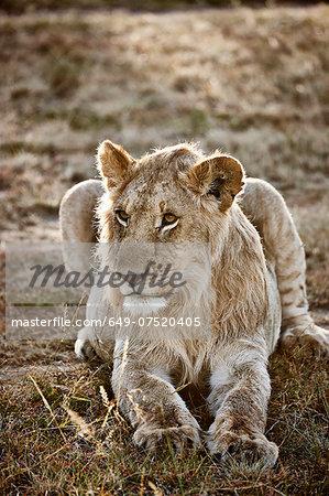 Alert lioness, Masai Mara, Narok, Kenya, Africa