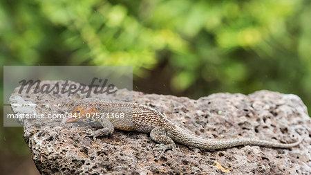 Female Santa Cruz lava lizard (Microlophus indefatigabilis) on Santa Cruz Island, Galapagos Islands, Ecuador, South America