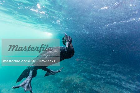 Curious flightless cormorant (Phalacrocorax harrisi) underwater at Tagus Cove, Isabela Island, Galapagos Islands, Ecuador, South America