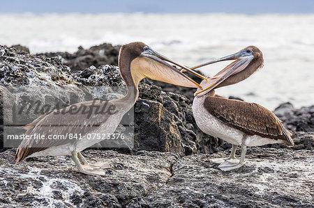 Immature brown pelicans (Pelecanus occidentalis) inspecting each others bills at Puerto Egas, Santiago Island, Galapagos Islands, Ecuador, South America