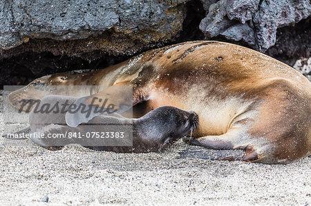 Galapagos sea lion (Zalophus wollebaeki) pup nursing in Urbina Bay, Isabela Island, Galapagos Islands, Ecuador, South America