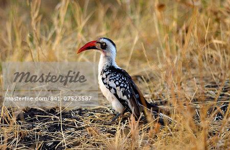 Red-billed Hornbill, Grumet, Tanzania, East Africa