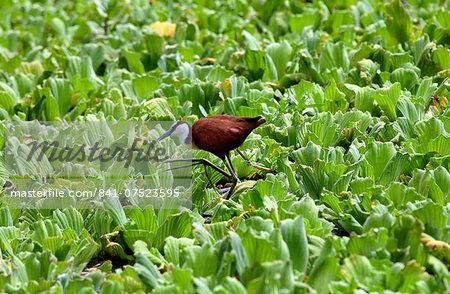 African Jacana bird walking on river cabbage, Grumeti, Tanzania, East Africa