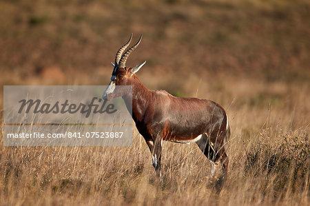 Blesbok (Damaliscus pygargus phillipsi), Mountain Zebra National Park, South Africa, Africa