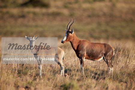 Blesbok (Damaliscus pygargus phillipsi) ewe and lamb, Mountain Zebra National Park, South Africa, Africa