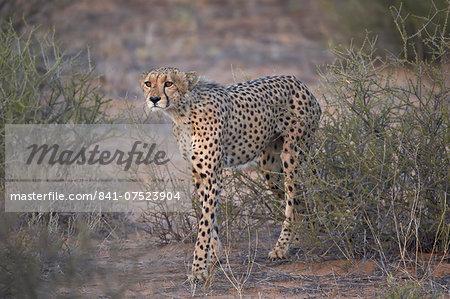 Cheetah (Acinonyx jubatus), Kgalagadi Transfrontier Park, encompassing the former Kalahari Gemsbok National Park, South Africa, Africa