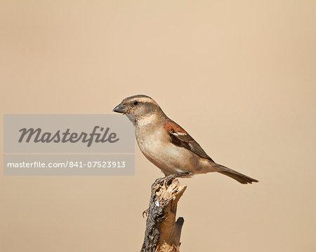 Female Cape sparrow (Passer melanurus), Kgalagadi Transfrontier Park, encompassing the former Kalahari Gemsbok National Park, South Africa, Africa