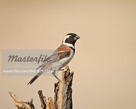 Cape sparrow (Passer melanurus), Kgalagadi Transfrontier Park, encompassing the former Kalahari Gemsbok National Park, South Africa, Africa