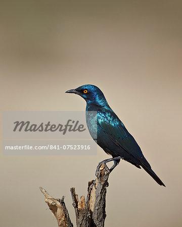 Cape glossy starling (Lamprotornis nitens), Kgalagadi Transfrontier Park, encompassing the former Kalahari Gemsbok National Park, South Africa, Africa