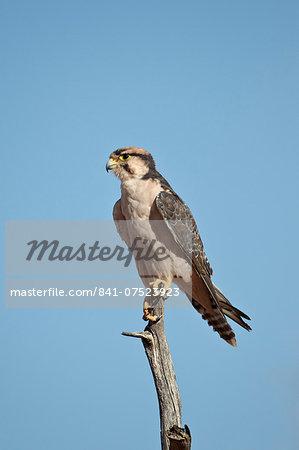 Lanner falcon (Falco biarmicus), Kgalagadi Transfrontier Park, encompassing the former Kalahari Gemsbok National Park, South Africa, Africa