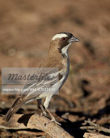 White-browed sparrow-weaver (Plocepasser mahali), Kgalagadi Transfrontier Park, encompassing the former Kalahari Gemsbok National Park, South Africa, Africa