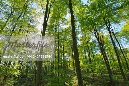 Sun through European Beech Trees (Fagus sylvatica) in Spring, Odenwald, Hesse, Germany