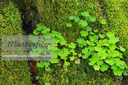 Close-up of Mossy European Beech Tree Trunk (Fagus sylvatica) with Shamrocks, Spessart, Bavaria, Germany