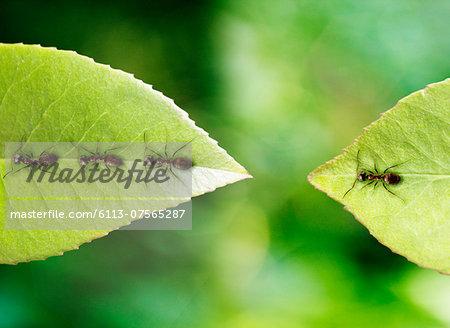 Ant stranded on leaf